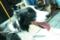 ボーダーコリーの子犬ちゃん@有松絞りまつり