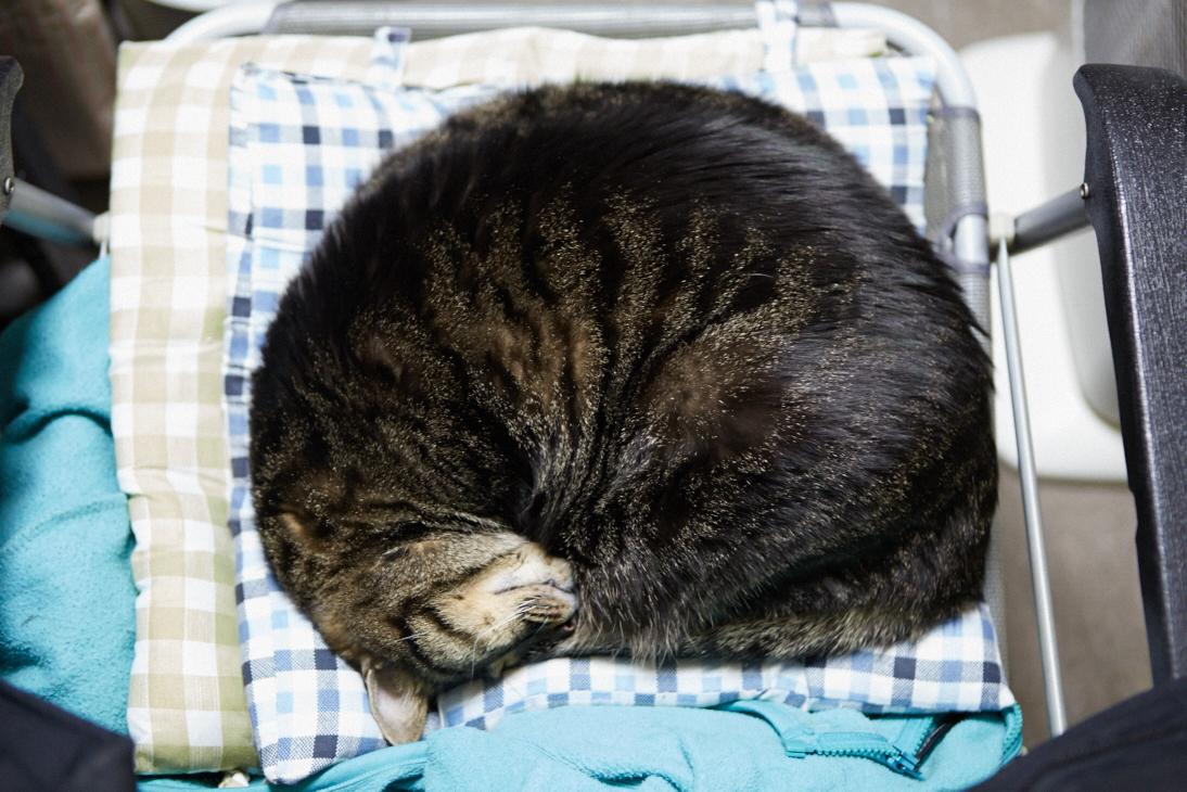 まん丸になって椅子の上で寝るにゃんこ、キチュオ。