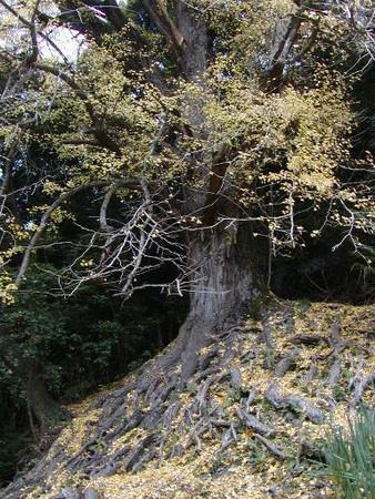 樹齢400年 天然記念物の大イチョウ 流谷 11月