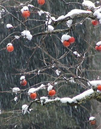 雪と柿 天見 2月 八幡神社の近くで