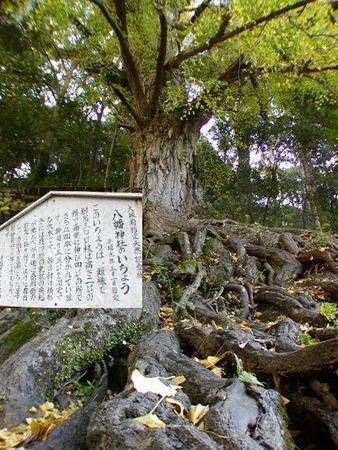 11月下旬が見頃です。流谷・八幡神社の大いちょうH16.11.14