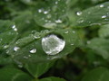 [草][クローバー]丸くてころころした雨粒が乗っかってる