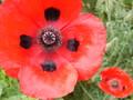 [花][植物公園][赤い花][ポピー]