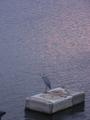 [鳥]夕方の川にぽつんと青サギ