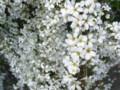 [花][白い花][雪柳]