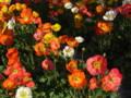 [花][オレンジの花][ポピー]