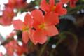 [花][赤い花][ベゴニア]