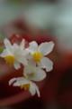 [花][白い花][ベゴニア]