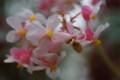 [花][ピンクの花][ベゴニア]