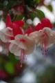 [花][白い花][フクシア]