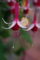 [花][赤い花][フクシア]