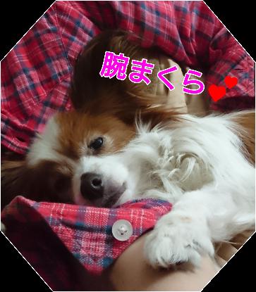 パピヨンが最も優秀な犬種といえる6つの理由