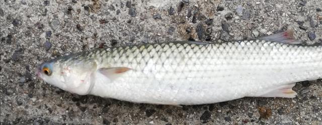 f:id:berao-setouchi-fishing:20210625000738j:plain
