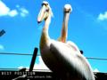 [鳥][生物][水族館]モモイロペリカン