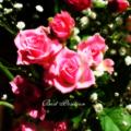 [花][バラ]ミニ薔薇