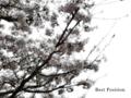 [花][桜]sakura