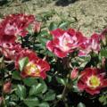 [花][バラ]薔薇