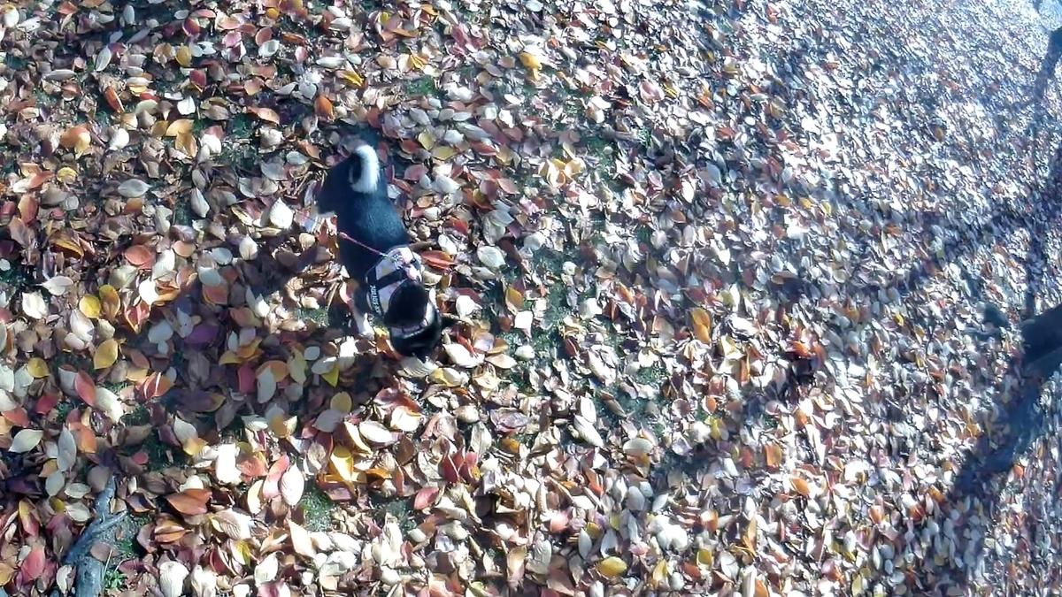 落ち葉 柴犬