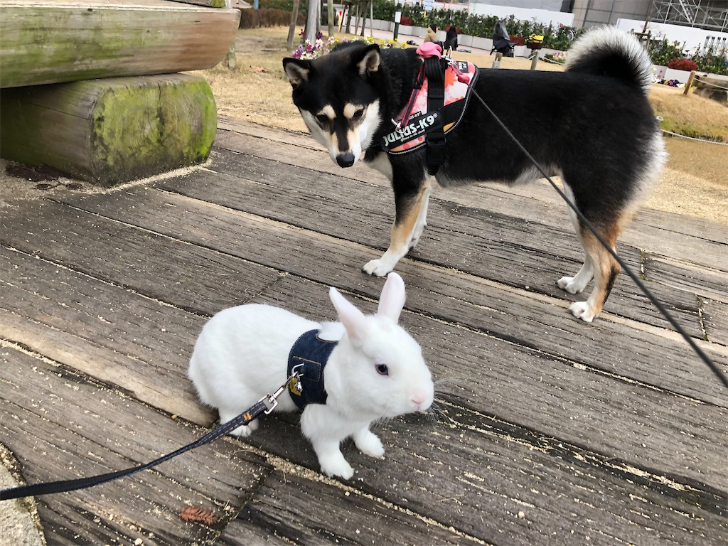 柴犬とウサギ