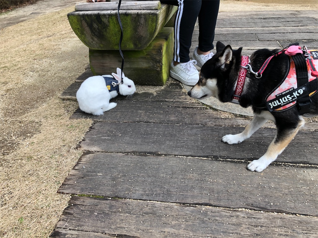 柴犬 ウサギ