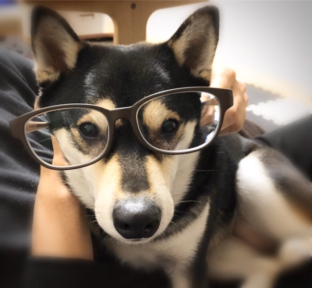 柴犬 メガネ