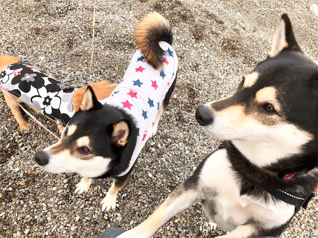 二色の浜わんこ 柴犬