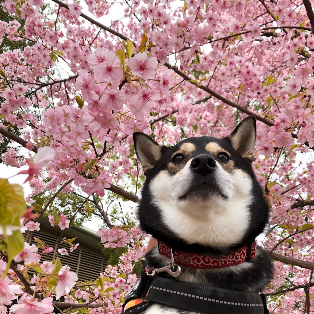 鶴見緑地 河津桜 犬