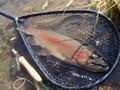 [北海道][ホウライマス]ビッグファイト松本の魚