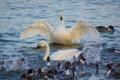 京都新聞写真コンテスト 『おはようの羽ばたき』草津市琵琶湖湖岸コ