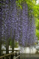 京都新聞写真コンテスト 『三大神社老藤~砂擦りの藤』