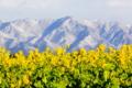 京都新聞写真コンテスト 『雪比良の峰を仰いで咲き誇る』
