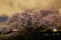 京都新聞写真コンテスト 『妖艶 鈎の桜2015』