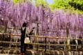 京都新聞写真コンテスト 『三大神社 老藤「砂擦りの藤」』