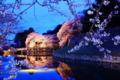 京都新聞写真コンテスト『彦根城大手門桜』