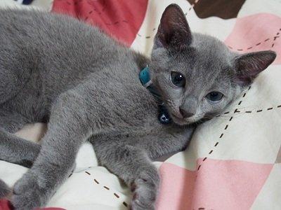 ロシアンブルー仔猫,ロシアンブルー仔猫画像,ロシアンブルー仔猫写真