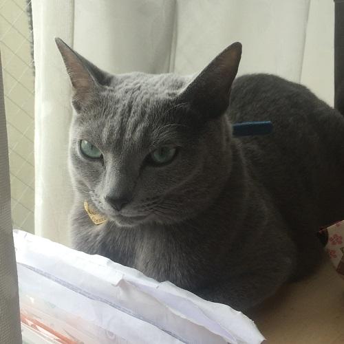 ロシアンブルー画像,ロシアンブルー写真,猫の抜け毛を減らす方法,猫の抜け毛の時期