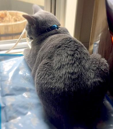 ロシアンブルー,ロシアンブルー画像,ロシアンブルー写真,愛猫ロシアンブルー,かわいい猫画像