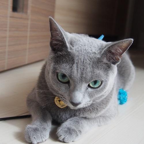 ロシアンブルー3歳,ロシアンブルー雄猫,3歳のロシアンブルー画像,3歳のロシアンブルー写真
