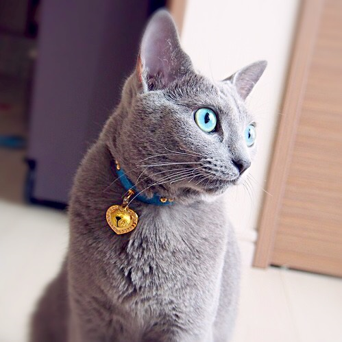 雄猫,雄猫ロシアンブルー写真,ロシアンブルー3歳,ロシアンブルー雄猫,3歳のロシアンブルー画像,3歳のロシアンブルー写真