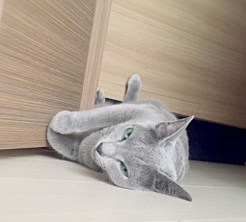 猫の熱中症対策,猫の熱中症原因,ロシアンブルーの熱中症対策,ロシアンブルー画像,ロシアンブルー雄写真