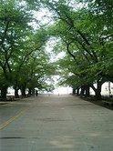 東工大の大岡山キャンパスさくらの木
