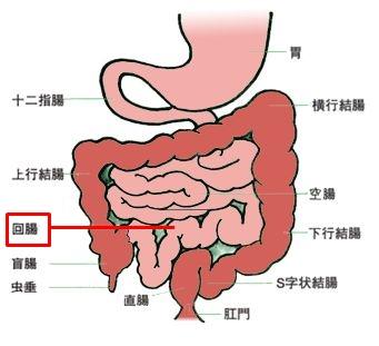消化管のイラスト