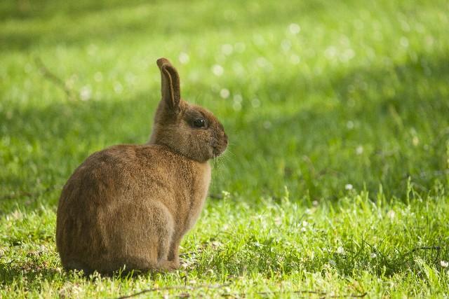 芝生にたたずむウサギ