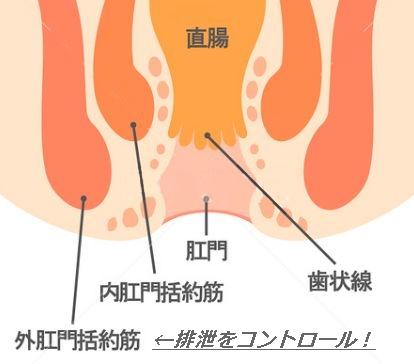 肛門括約筋まわりの図解イラスト