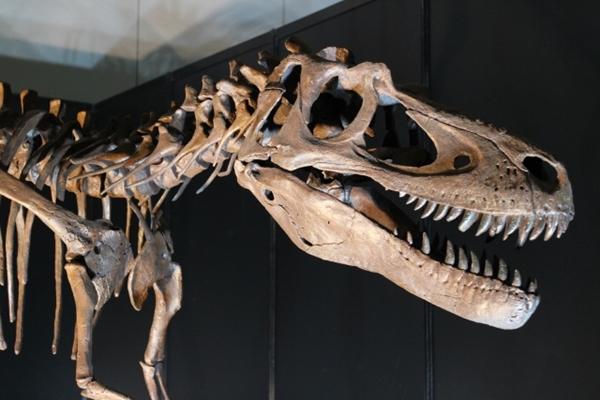 恐竜の骨格化石
