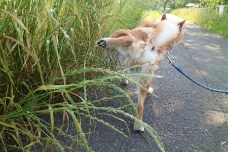 草むらでおしっこする柴犬