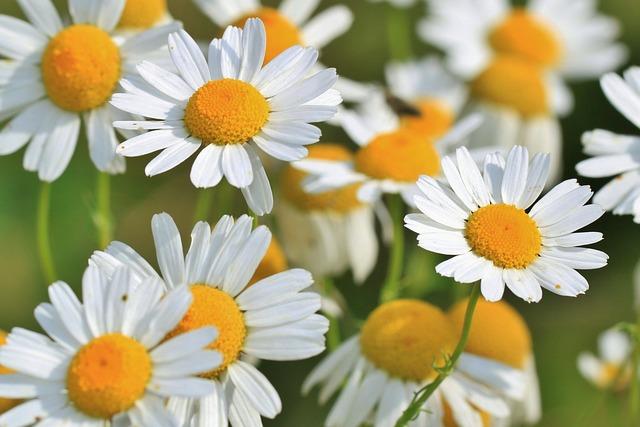 カミツレ花エキスに使われるカミツレ、カモミールの花