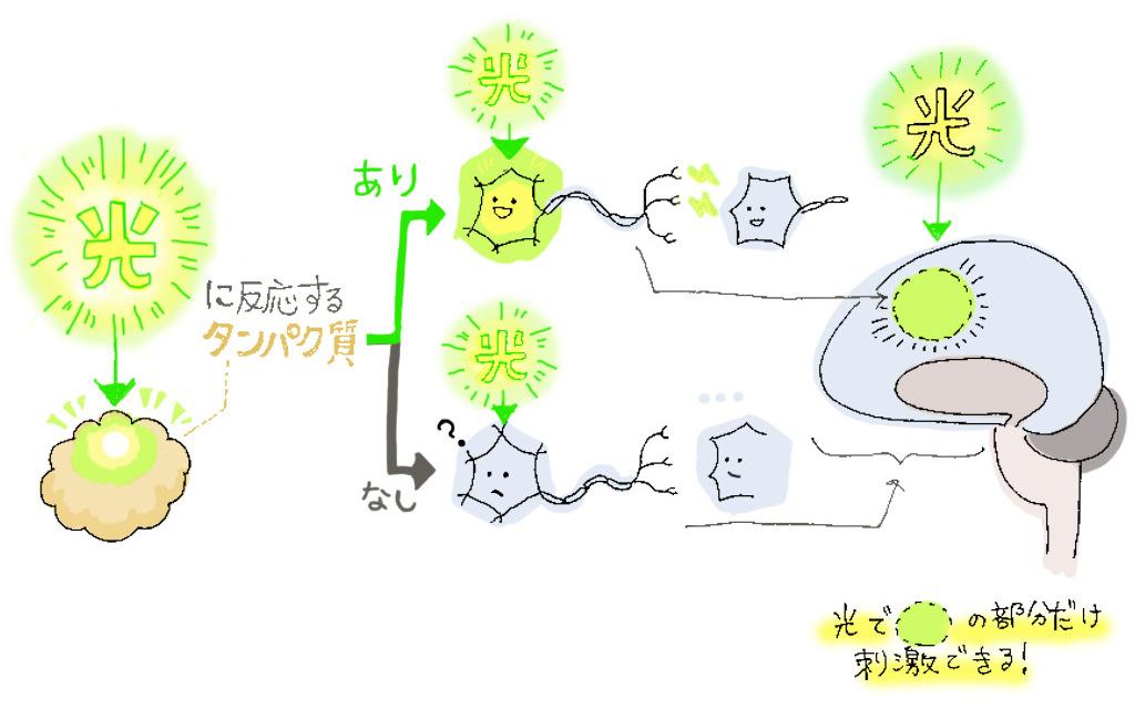 光のオン・オフで神経細胞の活動を制御できる