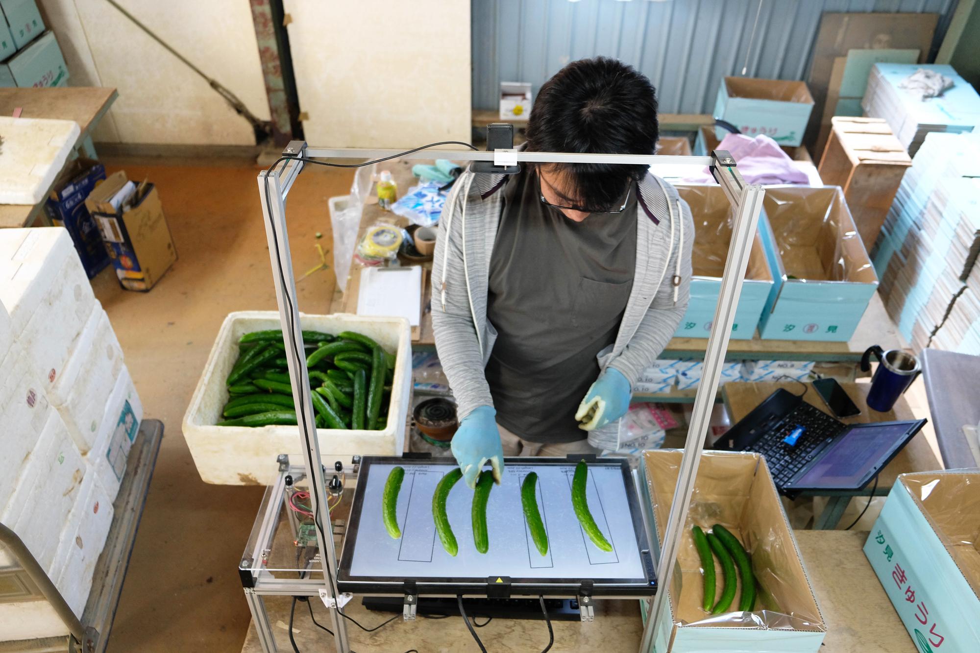 実際の作業の様子。小池さんの右手側の箱からきゅうりを取り出してテーブルに置き、判定されたきゅうりを左手側や後方に置いた出荷用の箱に仕分けていく