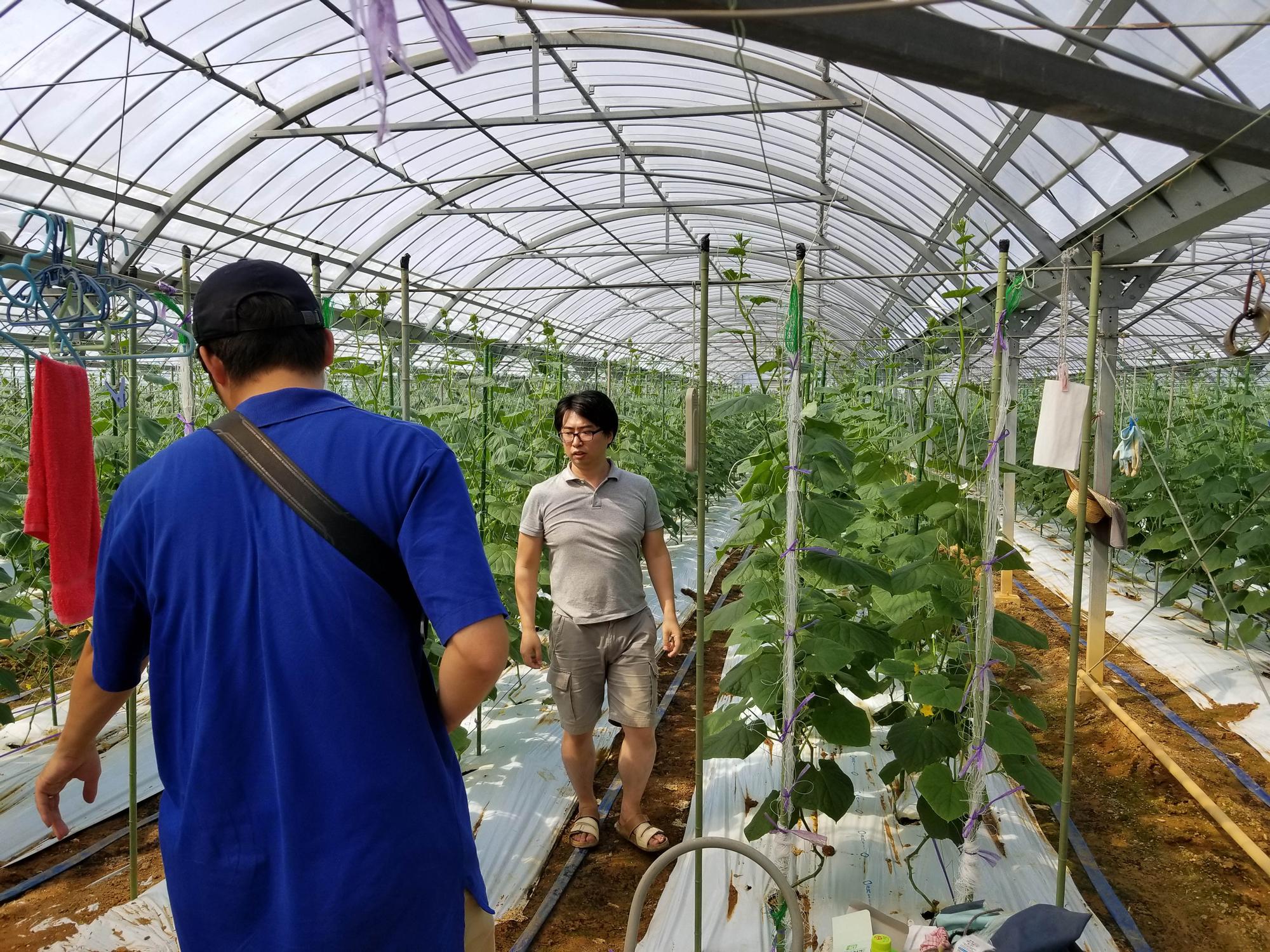きゅうりを栽培するハウスの様子。撮影時、このハウスでは、まだきゅうりは実っていなかった